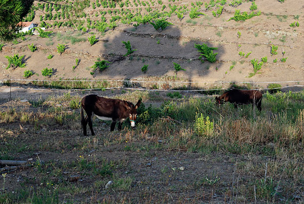 Deux ânes